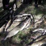 Сдача рыбы